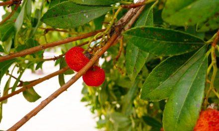 Arbousier (Arbouse) ou arbre aux fraises